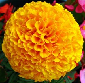 marigolds_5